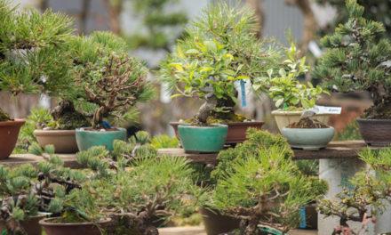 El conservador de bonsáis del Real Jardín Botánico de Madrid, en Santa Catalina